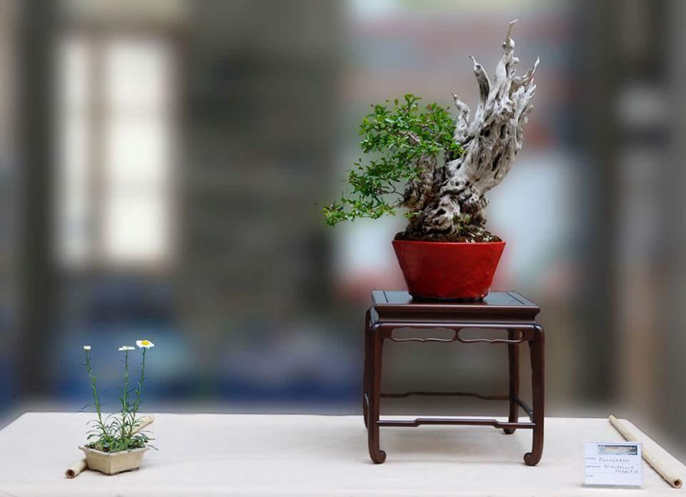 Punica granatum bonsai. Coll. Fabrizio Petruzzello - vaso Emanuela Ribera | ph © Fabio Canneta